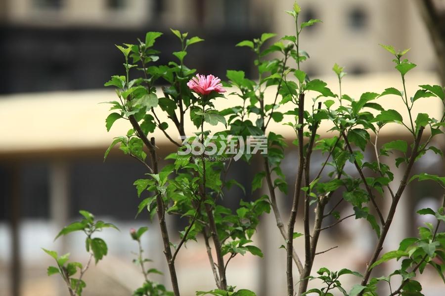 三潭音悦小区绿化景观实景图(2017.7摄)